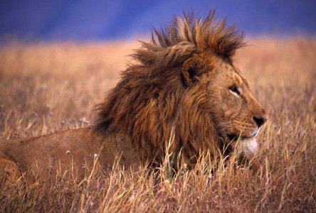 Lion in morning